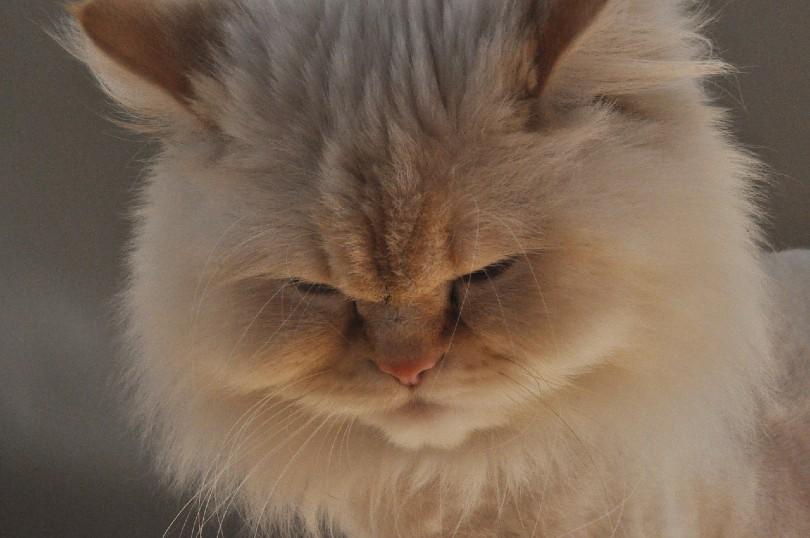 wajah kucing himalaya