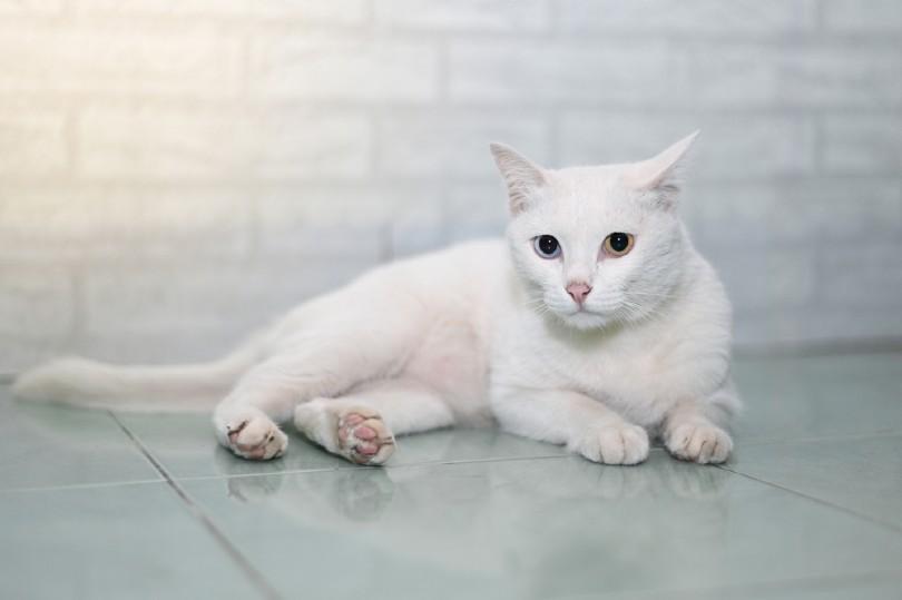 khao manee cat portrait
