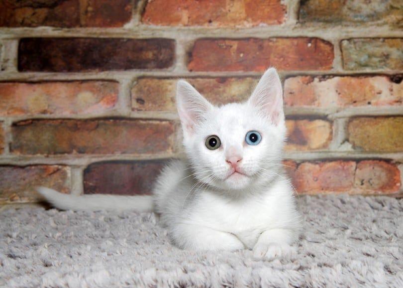 kitten laying _Sheila Fitzgerald_Shutterstock