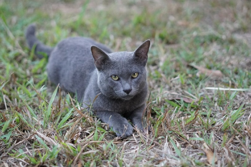 korat cat lying in the garden