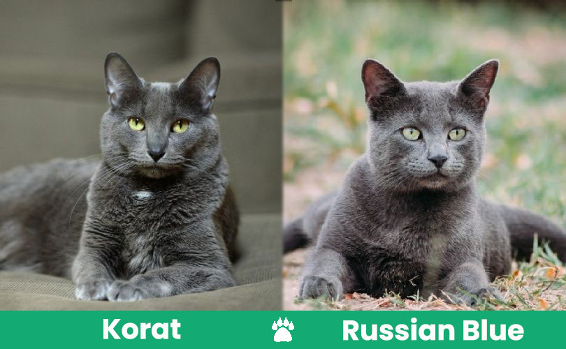korat vs russian blue visual