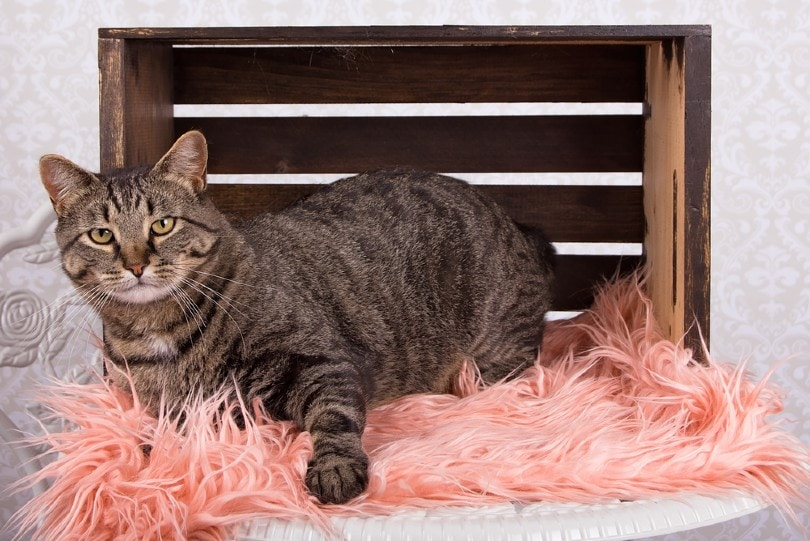 mackerel tabby pattern manx cat