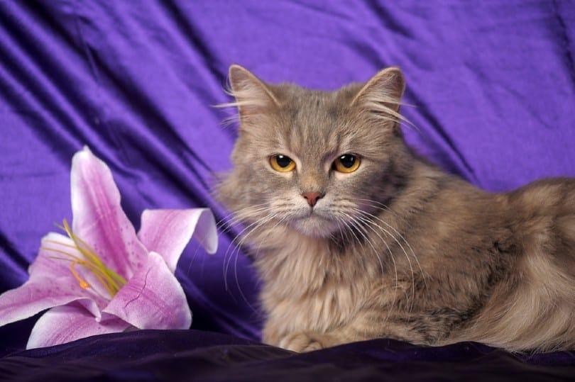 mink ragamuffin cat