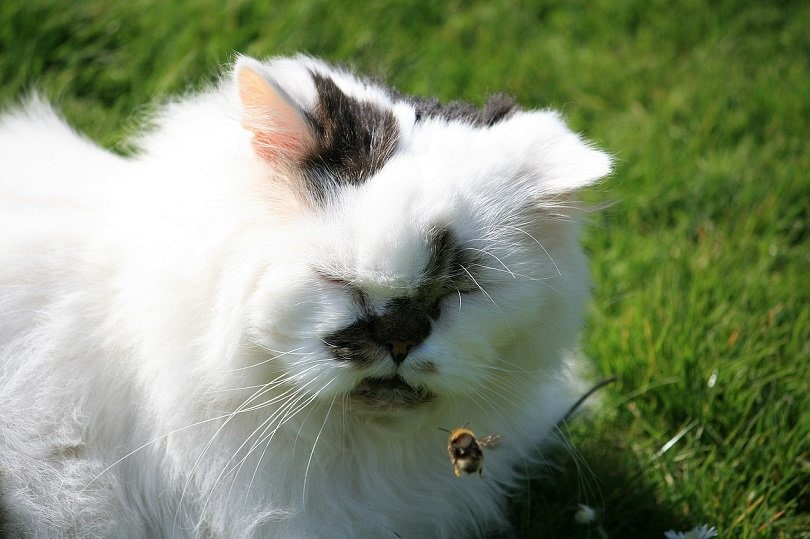 persian cat stung by bee-pixabay