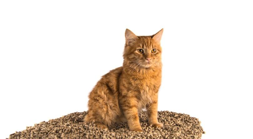 red manx cat