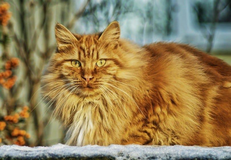 red norwegian forest cat