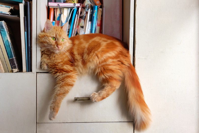 red tabby cat relaxing on book shelf