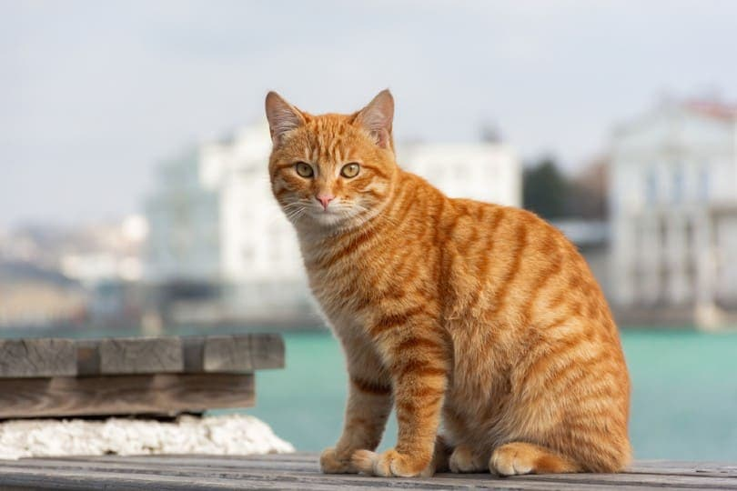 red tabby cat sits on the background of the sea