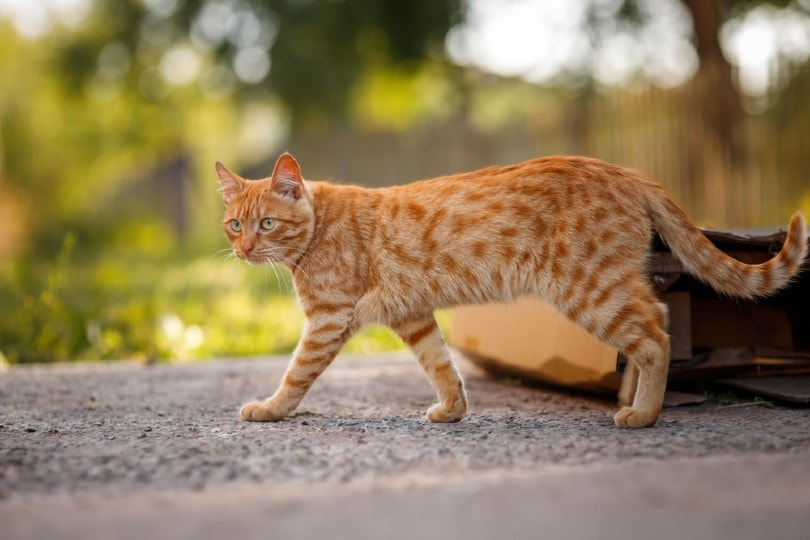 red tabby cat walks outdoor