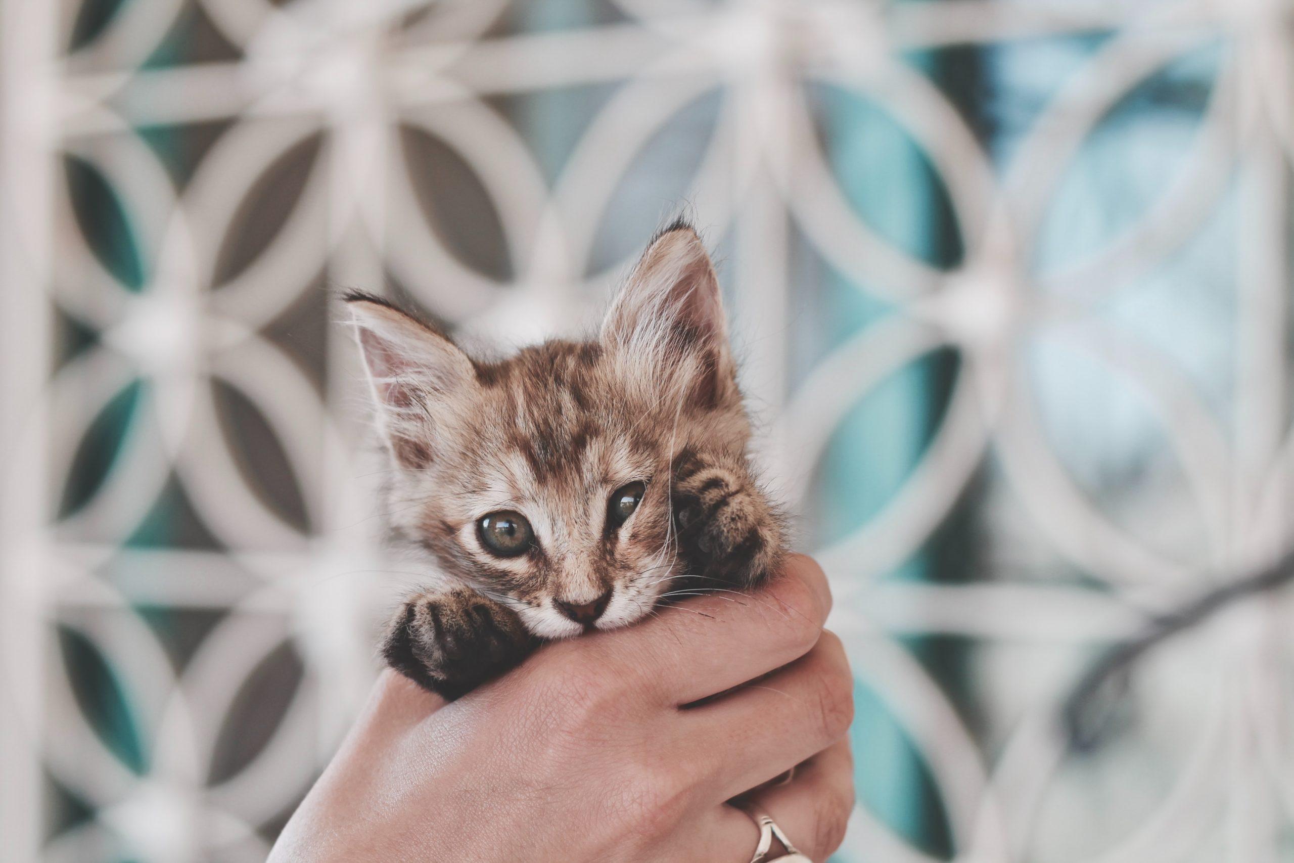 american keuda kitten