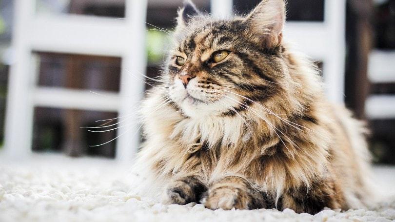 kulit kucing persia