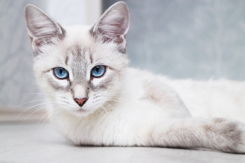 siamese thai blue eyed cat_catinrocket_shutterstock