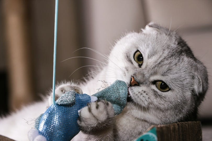 silver chinchilla Scottish fold playing toy_schlyx_shutterstock