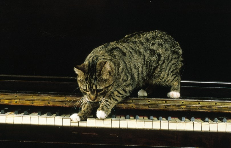Spotted tabby pattern