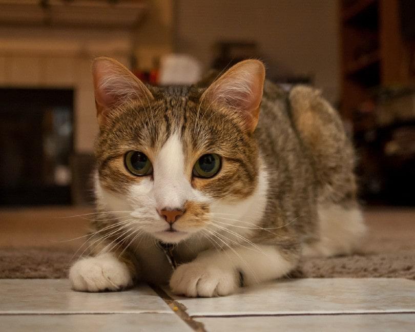 tabby and white manx cat