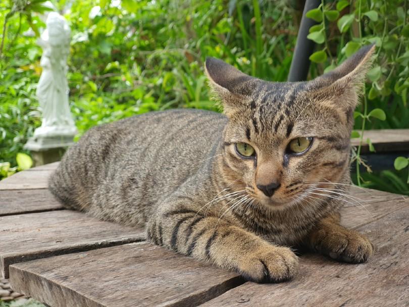 tabby mackerel cat