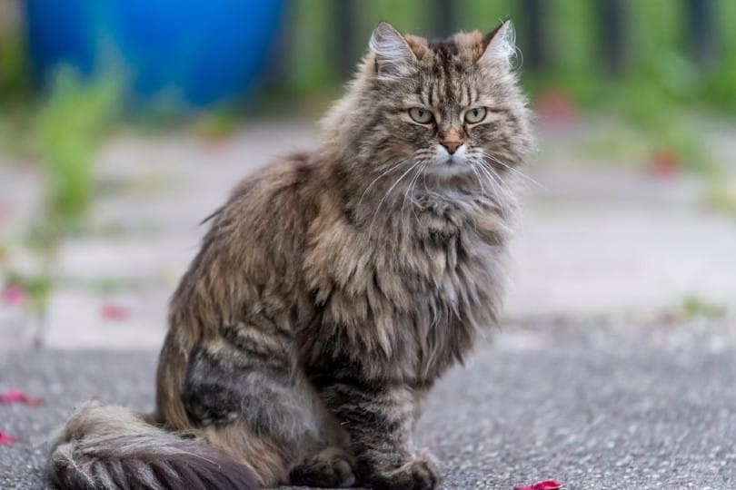 tabby ragamuffin cat