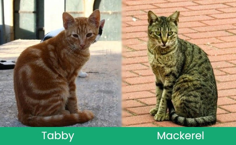 tabby vs mackerel