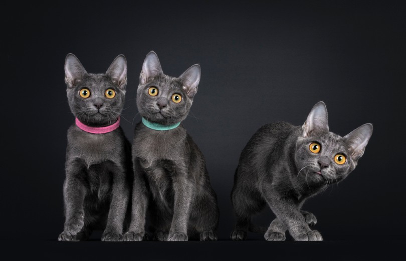 three Korat kittens