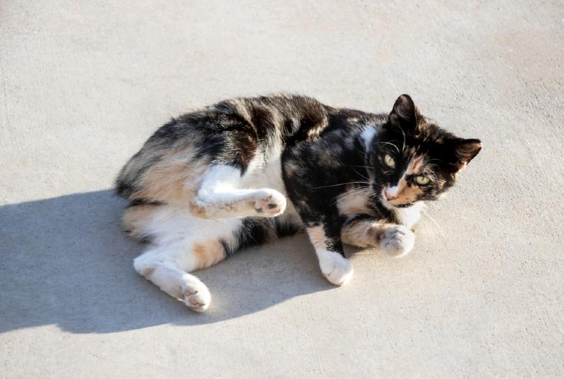 tortoiseshell and white manx cat