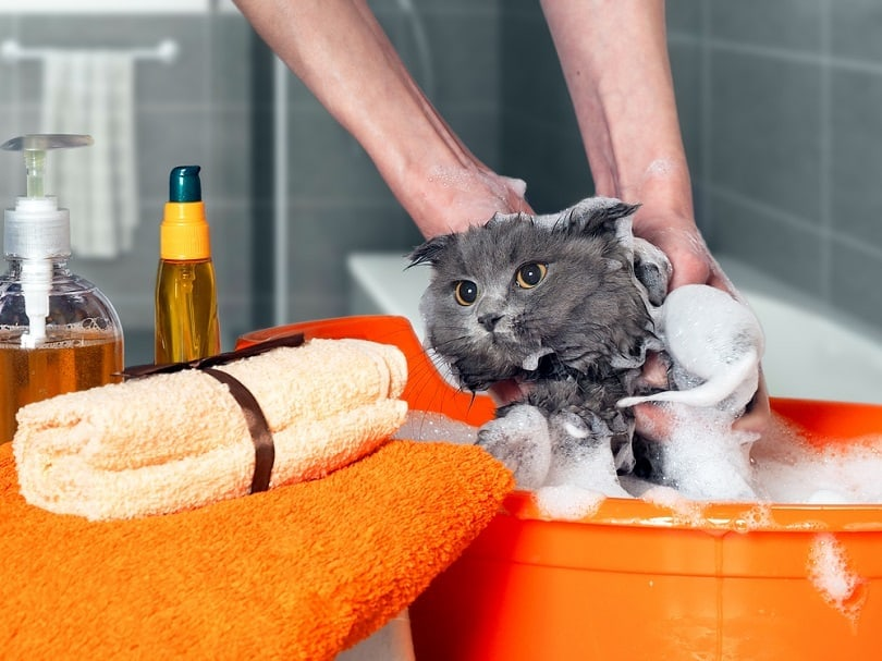 washing the cat in the bathroom_Irina Kozorog_shutterstock