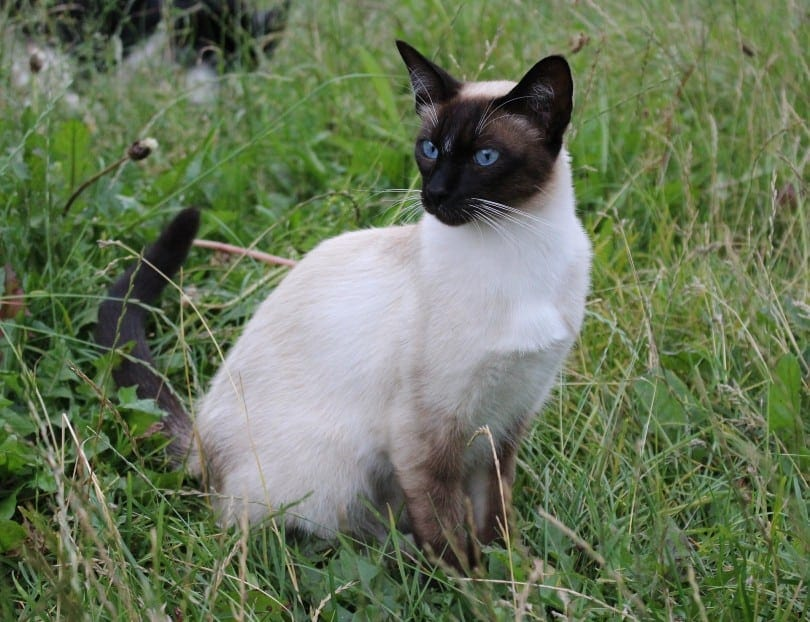 wedge head siamese outdoors