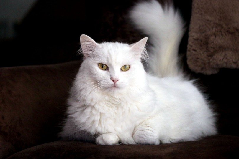 white turkish angora