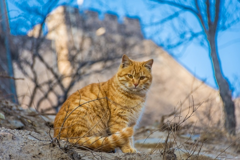 wild cat on the Great Wall of China_Stefano Zacccaria_shutterstock
