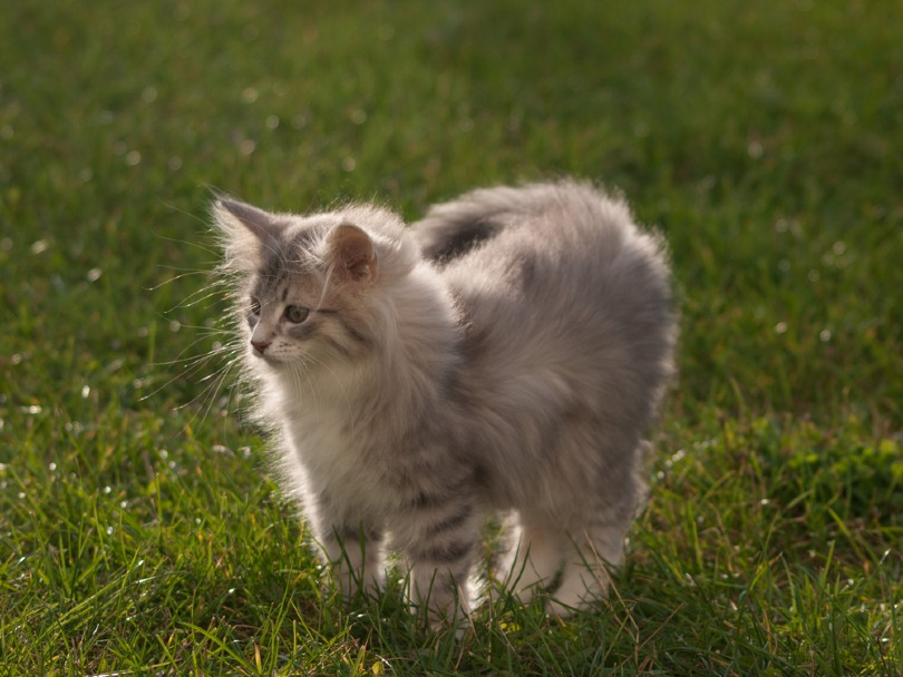Blue Patched Norwegian Forest Tabby