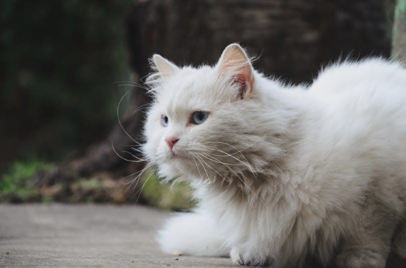 Blue Turkish Angora Cat