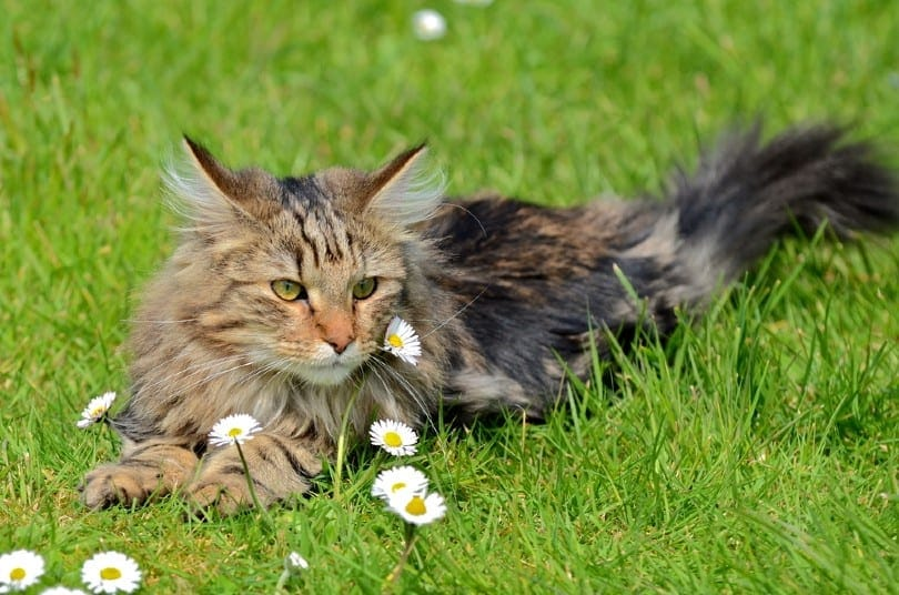 Brown Patched Tabby Norwegian Forest