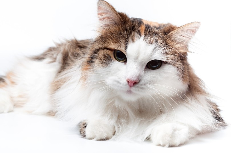 Calico Turkish Angora