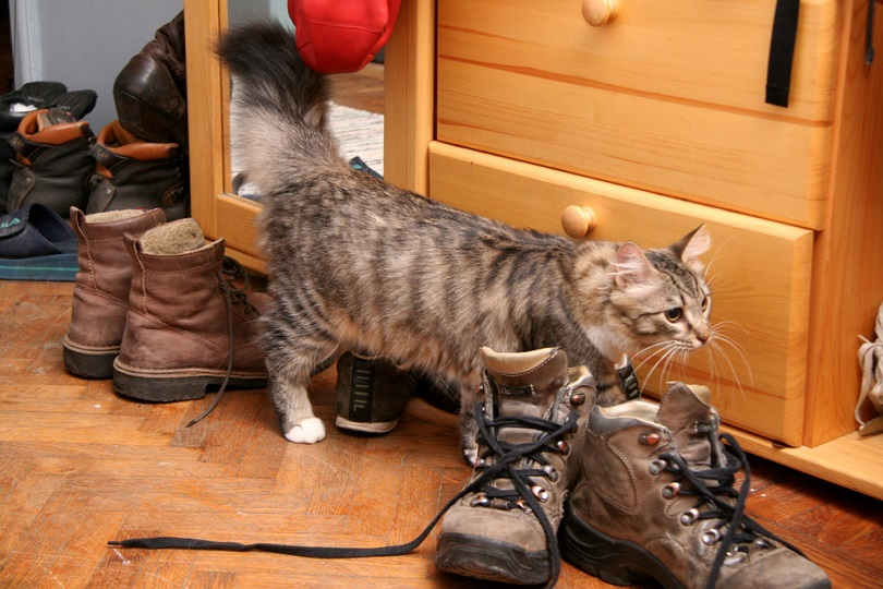 Gray-cats-a-piss-to-human-shoes_AJSTUDIO-PHOTOGRAPHY_shutterstock