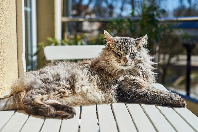 Norwegian forest cat ticked tabby