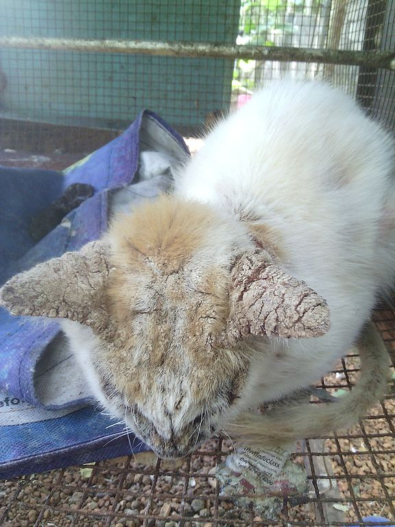Notoedres_mange_infection_in_a_cat-Commons wikimedia