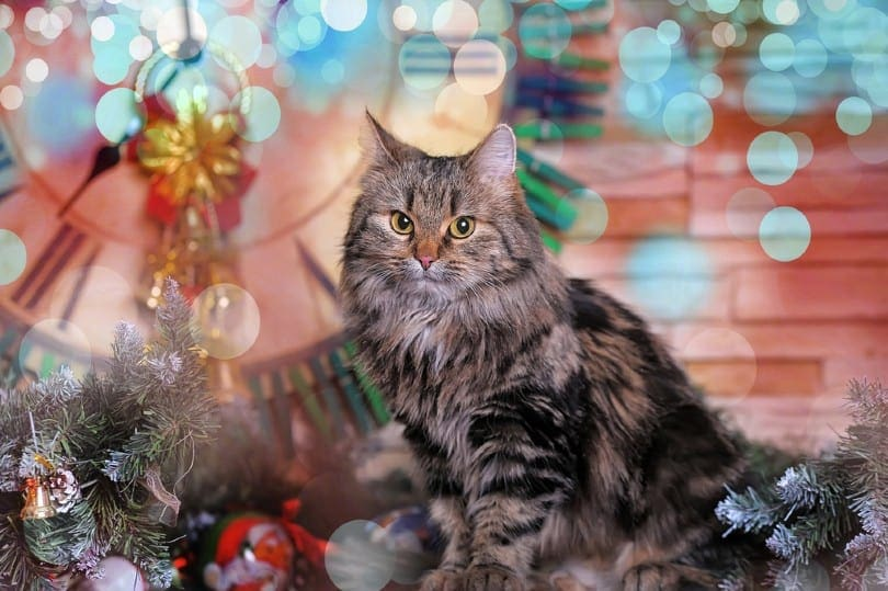 Patched Tabby Pattern norwegian forest cat