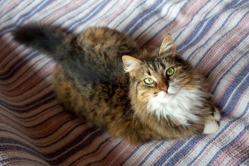 Spotted Tabby Norwegian Forest cat
