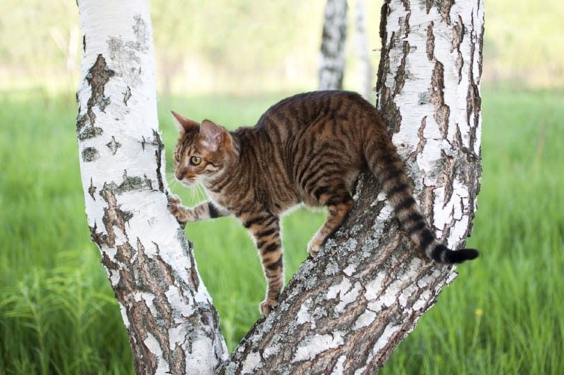 Toyger cat in a tree