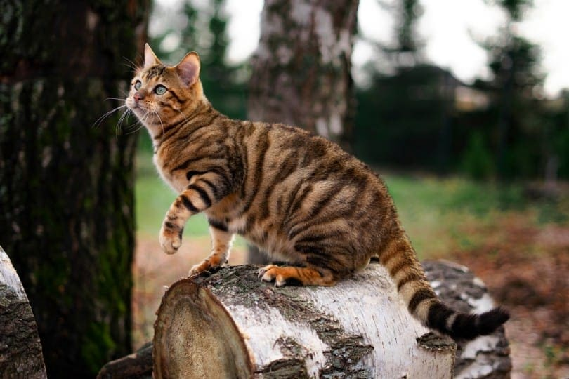Toyger cat on a tree