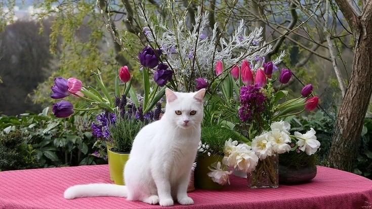 Turkish_Van Cat