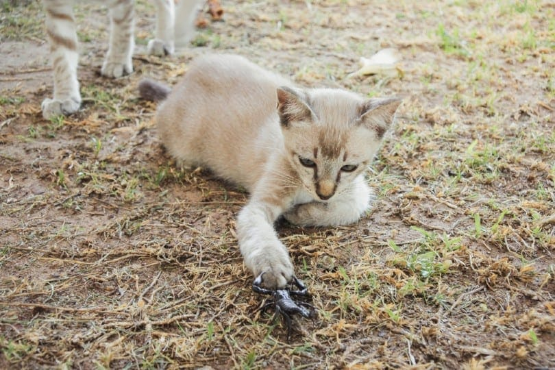 Young cat fighting with scorpion
