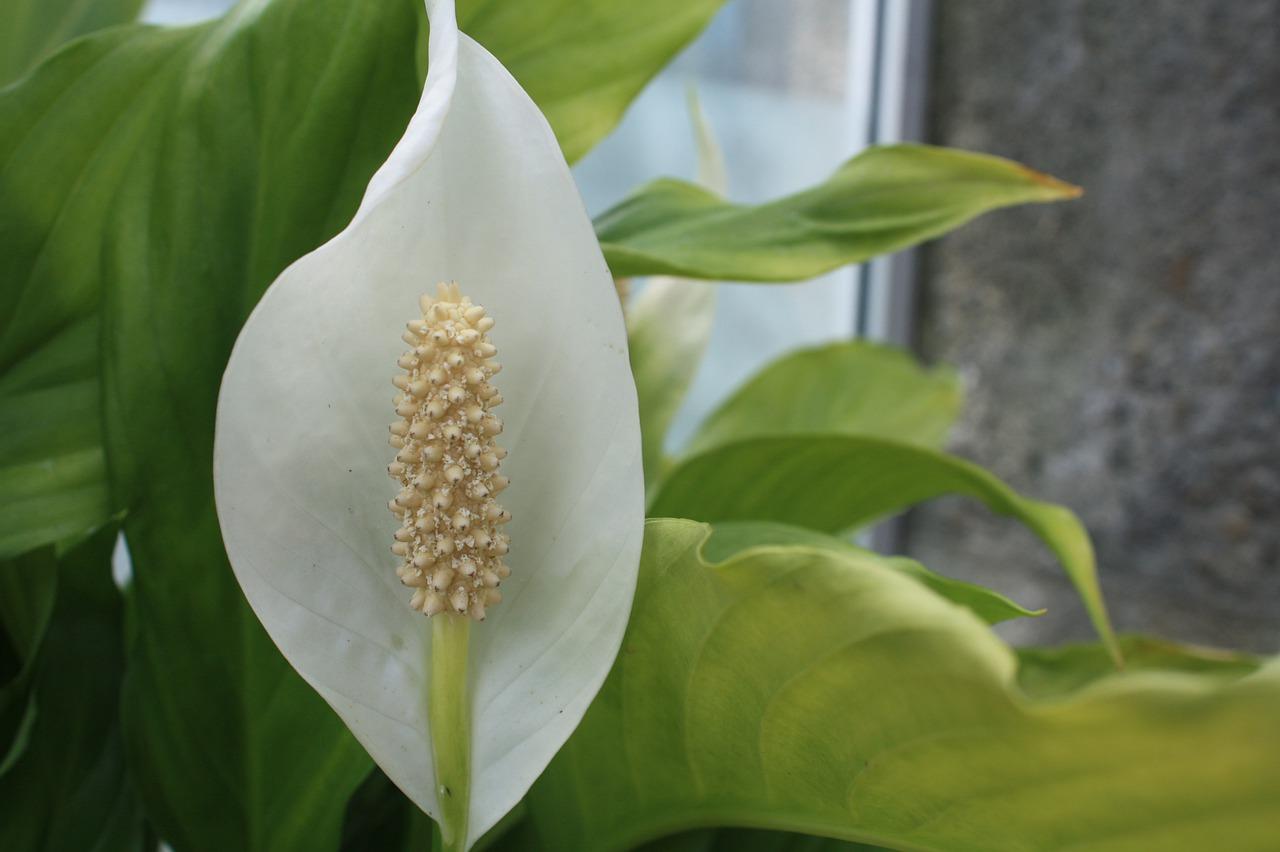 a peace lily