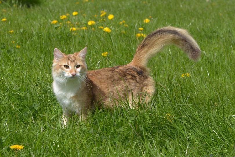 amber tabby norwegian forest cat