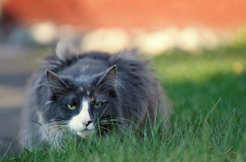 bi color norwegian forest cat