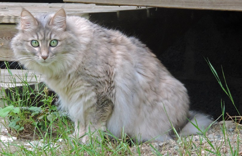 blue-cream turkish angora