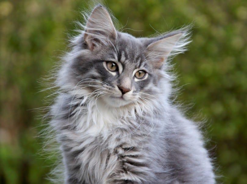 blue silver tabby Norwegian forest cat