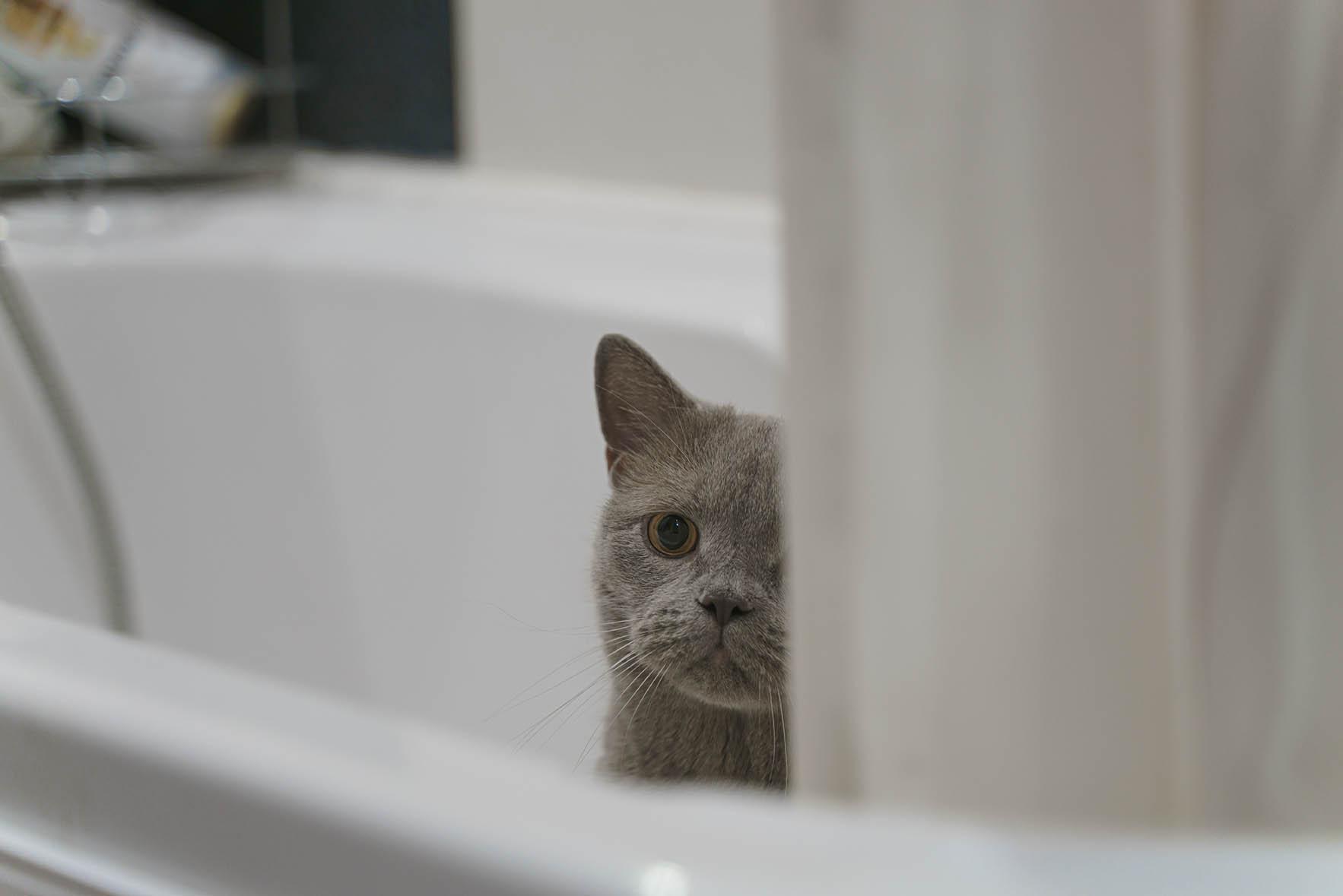 british shorthair cat peeps from the bathtub