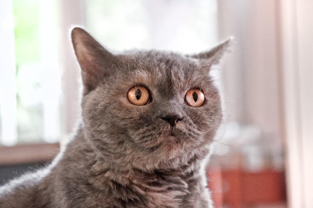 british shorthair cat startled