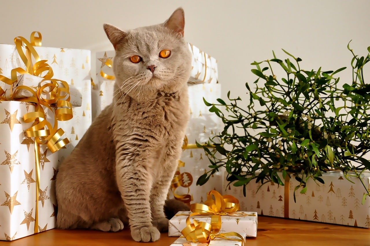 british shorthair cat surrounded with gifts