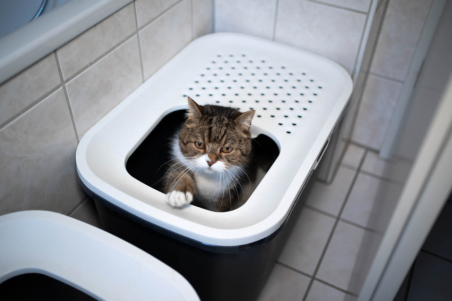 british shorthair inside top entry litter box